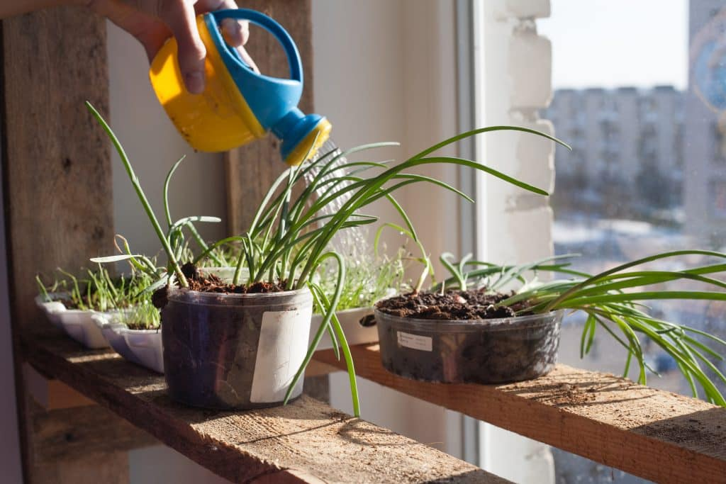 seedlings,on,the,window,,vegetable,garden,in,the,apartment,
